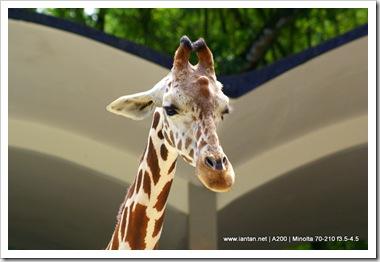 Handsome Giraffe