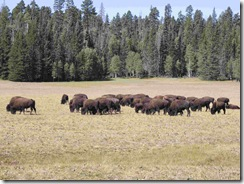 Buffalo at North Rim