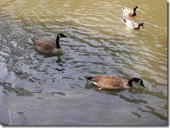 Ducks KOA 2011 (7)