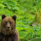Bear photography in Romania