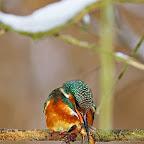 Kingfisher_Alcedo_Atthis_Pescarelul_Albastru_by_Daniel_Petrescu