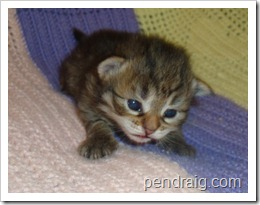 Image of warm brown tabby Siberian Kitten.