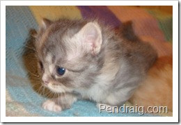 Image of blue smoke calico Siberian kitten.