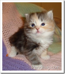 Image of silver calico Siberian Kitten.