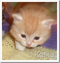 Image of red silver siberian kitten.