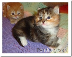 Photo of calico Siberian Kitten.