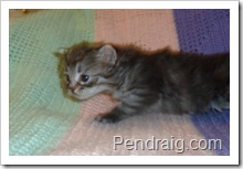 Image of silver mackerel tabby Siberian cat male.