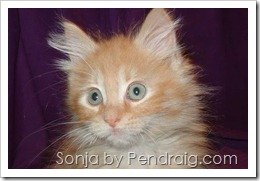 image of rare orange tabby female Siberian kitten.