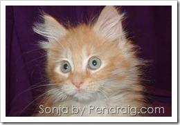 image of rare orange tabby female Siberian kitten.