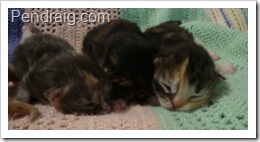 Images of Siberian Kittens at one week old in Texas.