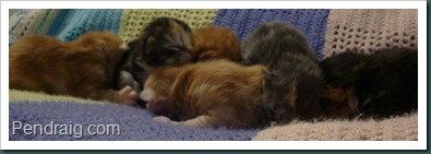 Photo of 1  week old litter of Siberian Kittens.