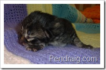 Photo of traditional black tabby siberian kitten.