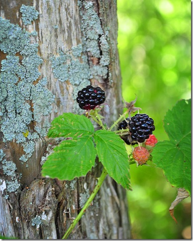 Blackraspberries-1