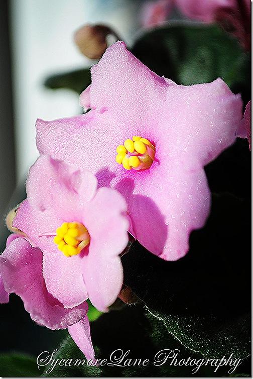 violet-1-w