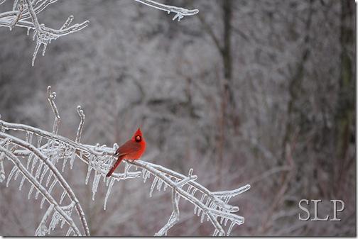 cardinal-w