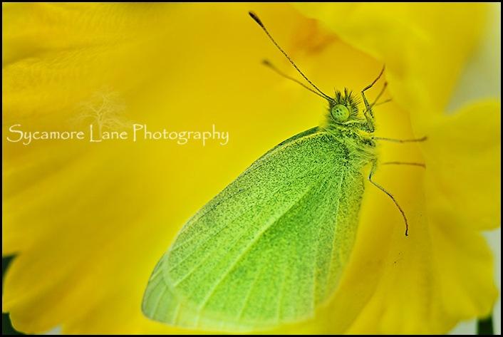 green moth-w-1