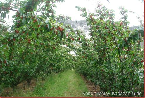 Cherry Picking (87)