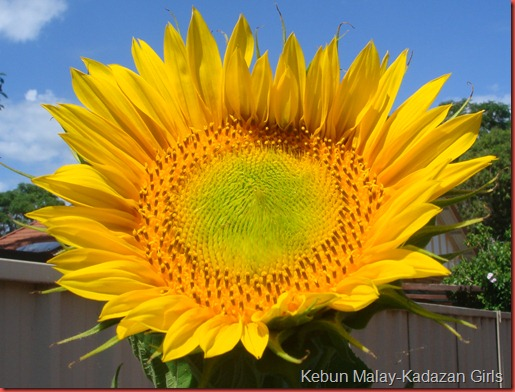 Sunflower mamoth (4)