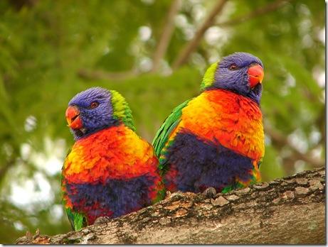 Rainbow_Lorikeet_-Auburn_Botanical_Gardens