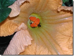 Pumpkin flower - female with two bees