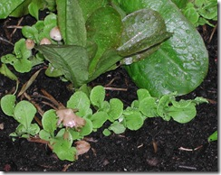 Fungi among lettuce seedlings after rain