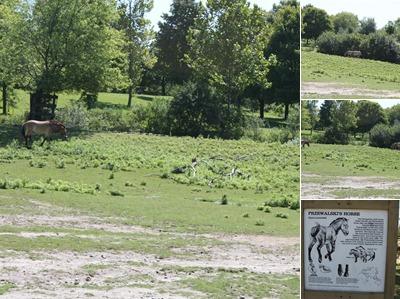 View Przewalski Horses