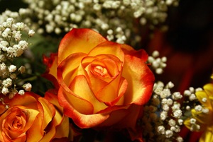 yellow-orange-roses-macro
