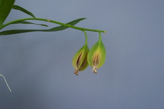 orchid Seed Capsula