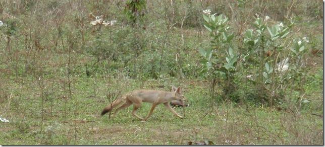 Fox-crop