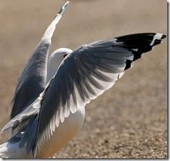 seagullwings1