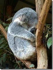 koala_dodo