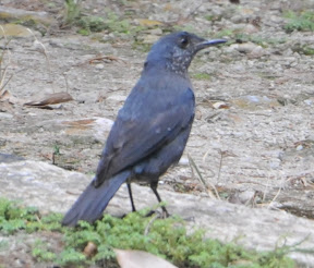 Blue Rock Thrush & more Ipoh Photos