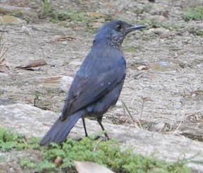 Blue Rock Thrush & more Ipoh Photos