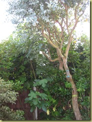 The last picutre of my Eucalyptus Tree, Sunday 5th Junly 2009