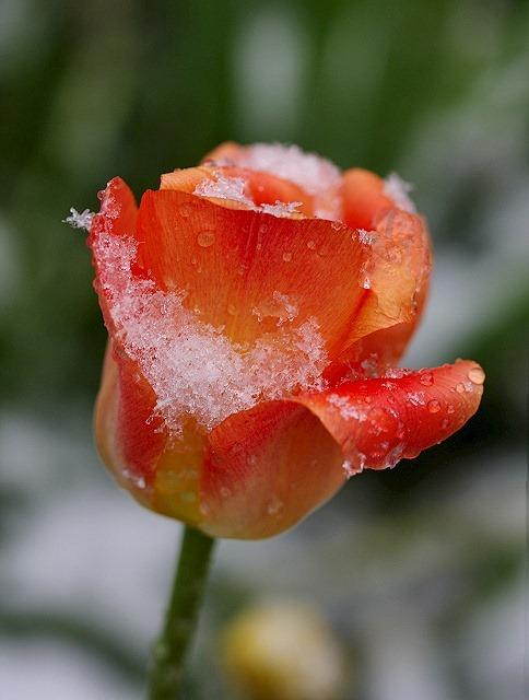[snow on the bloom[4].jpg]