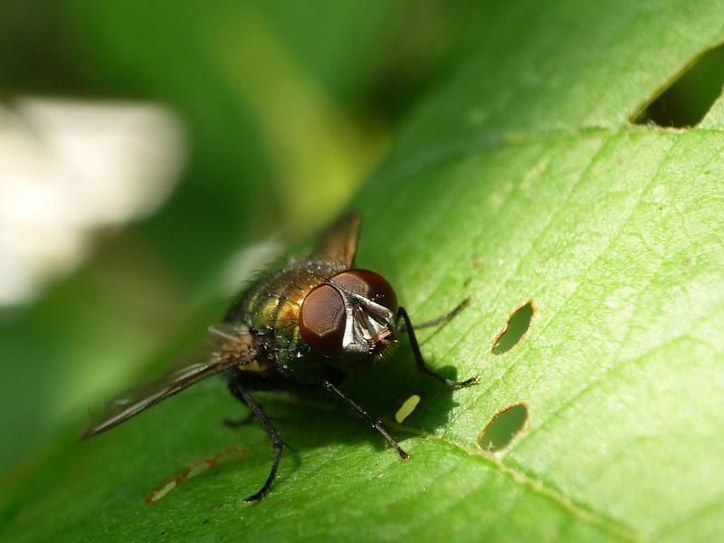 Photos d'insectes/Fleur avec un Panasonic FZ5 P1030465