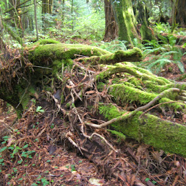 Moss on the FallenRedwoods by Linda McCormick - Nature Up Close Other plants ( redwoods, nature, green, california, moss )