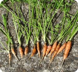 carrots5Sept