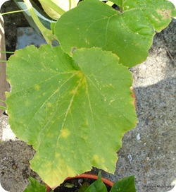 Squash bad leaves 9 Aug-1