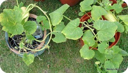 Squashinpots15Aug