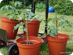 Toms in pots 25 June