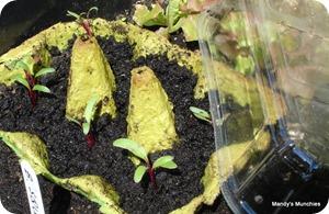 New beet seedlings 13 June
