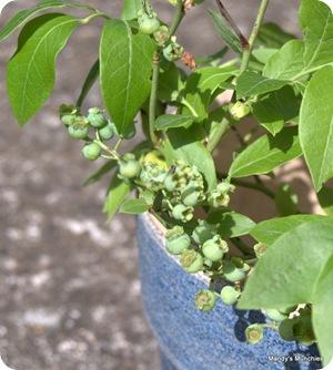 New blueberry 1 June berries