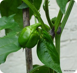 Pepper15Aug
