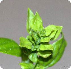 Basil 1 Aug new growth