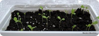 Lettuce 5 May 09