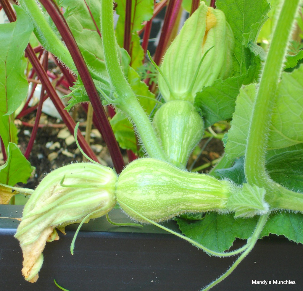 [Squash female flowers and fruit 9 Aug[3].jpg]