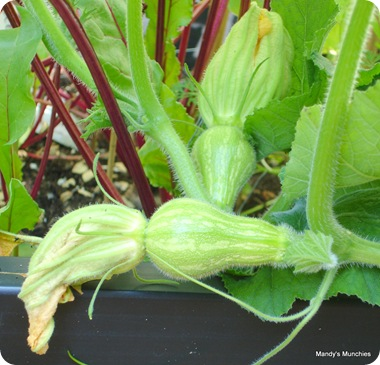 Squash female flowers and fruit 9 Aug