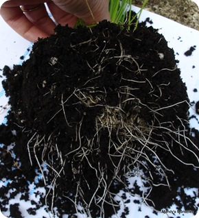 Chives roots 15 Aug