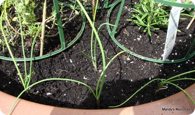 Chives replanted with other herbs 15 Aug